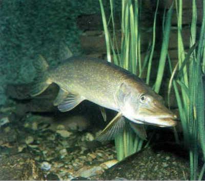 Рыба щука у травы