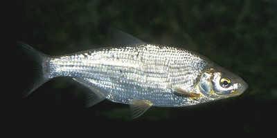 Рыба сырть в воде
