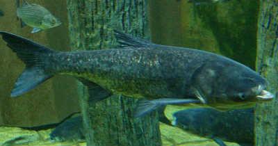 Рыба толстолобик у коряг