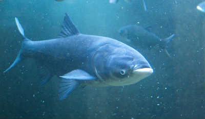 Рыба толстолобик в реке