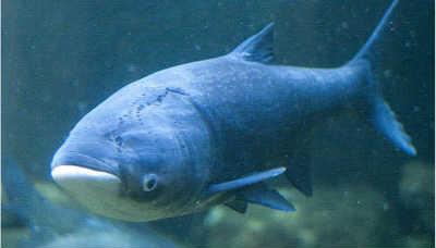 Рыба толстолобик в воде