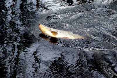 Рыба язь на крючке