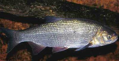 Рыба язь у бревна
