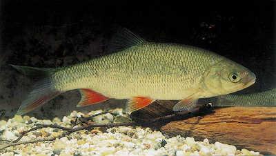 Рыба язь у дна