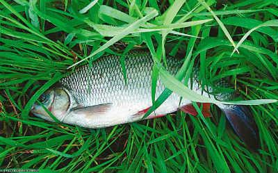 Рыба язь в траве
