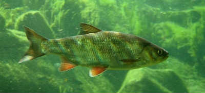 Рыба язь в воде