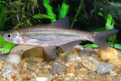 Рыба быстрянка в аквариуме