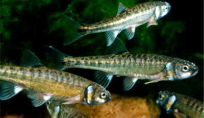 Рыбы гольян в воде
