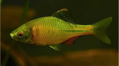 Рыба горчак в аквариуме