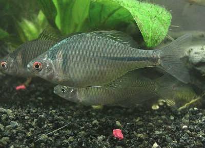Рыбы горчак на дне