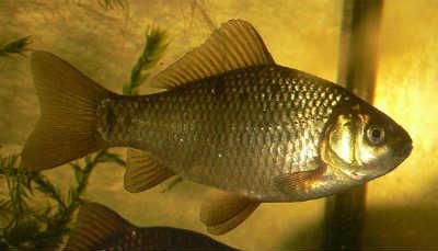 Рыба карась золотой
