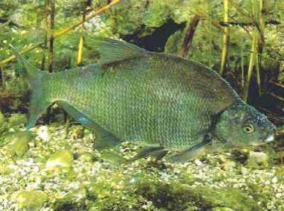 Рыба лещ у дна