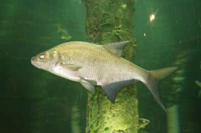 Рыба лещ в зарослях