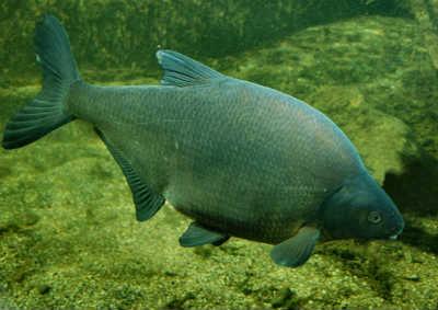 Рыба лещ в реке