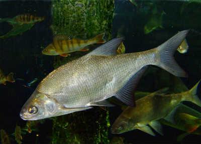 Рыба лещ в воде