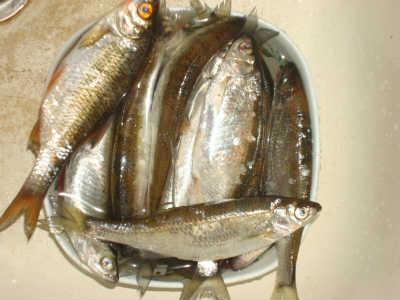 Рыба уклейка в улове