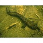 Рыба налим относится к семейству тресковых