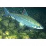 Рыба нельма относится к  семейству лососевых