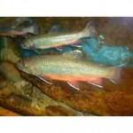 Палья – рыба семейства лососевых