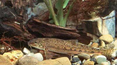 Рыба пескарь в аквариуме