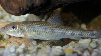 Рыба пескарь на камнях
