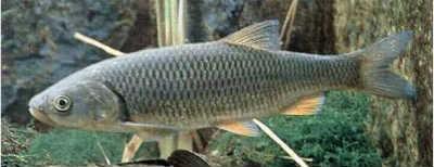Рыба рыбец в воде
