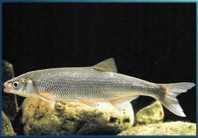 Рыба рыбец у камней