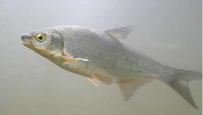 Рыба рыбец в реке