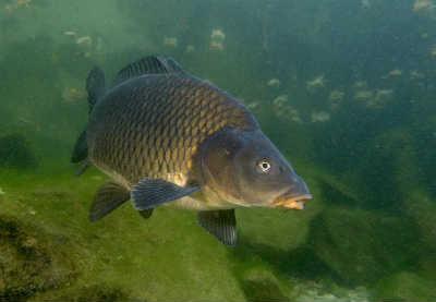 Рыба сазан у дна