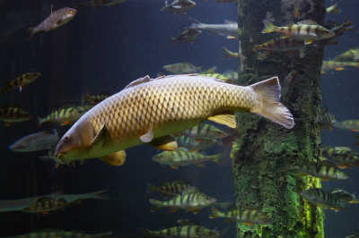 Рыба сазан в воде
