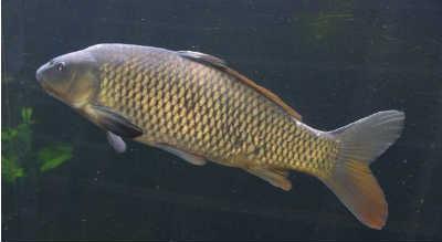 Рыба сазан в водоеме