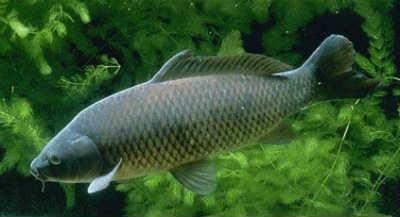 Рыба сазан в реке