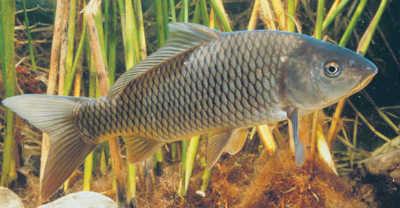 Рыба сазан в траве