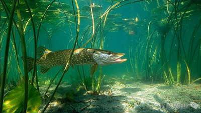 Рыба щука в озере