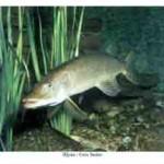 Рыба щука относится к семейству щуковых