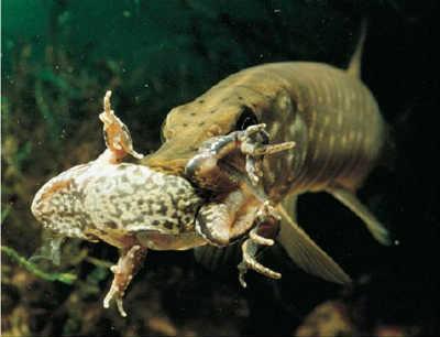 Рыба щука с лягушкой