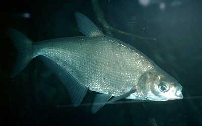 Рыба синец в воде