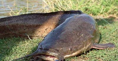 Рыба сом на берегу