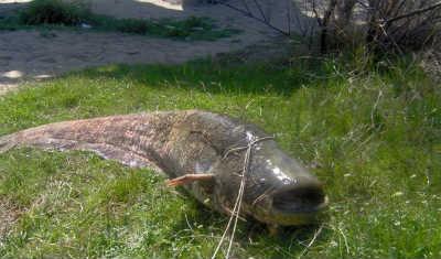 Рыба сом в улове