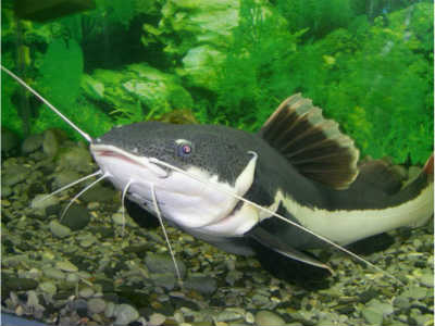 Рыба сом в аквариуме