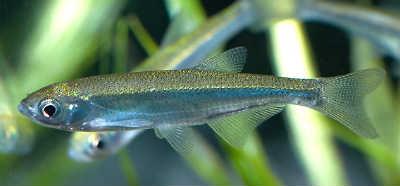 Рыба уклейка у травы