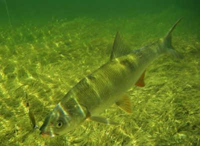 Рыба жерех пойманный кастмастером