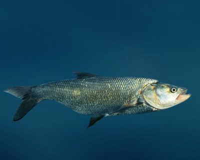 Рыба жерех в воде