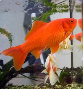 Рыба карась - золотая рыбка