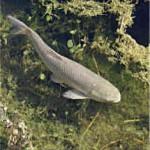 Рыба амуротносится ксемейству карповых