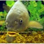 Карп — рыба семейства карповых