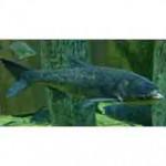 Рыба толстолобик относится к семейству карповых