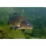 Рыба сазан относится к семейству карповых