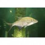 Рыба лещ относится к семейству карповых