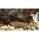 Рыба пескарь относится к семейству карповых